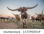 texas longhorn bull and cow herd | Shutterstock . vector #1172905519