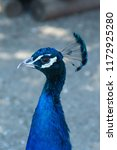 beautiful peacock  portrait... | Shutterstock . vector #1172925280