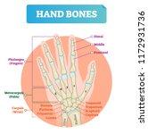 hand bones vector illustration. ... | Shutterstock .eps vector #1172931736
