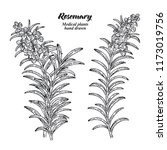 Rosemary Branch With Leaves And ...