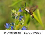 snowberry clearwing moth... | Shutterstock . vector #1173049093