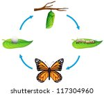 Illustration of the life cycle of a Danaus plexippus on a white background