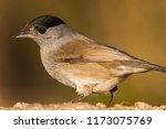 eurasian blackcap  sylvia... | Shutterstock . vector #1173075769