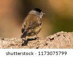 eurasian blackcap  sylvia... | Shutterstock . vector #1173075799