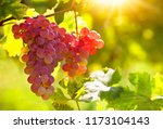 bunch of pink grapes on the vine | Shutterstock . vector #1173104143