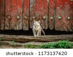 small kitten going out of old... | Shutterstock . vector #1173137620