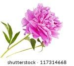 Stock photo peony flower isolated on white background 117314668