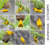 golden palm weaver  ploceus... | Shutterstock . vector #117316894