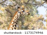 giraffe  giraffa camelopardalis ... | Shutterstock . vector #1173174946