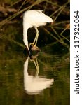 Snowy Egret staring at her own reflection in the water. Patagonia, Argentina, South America - stock photo