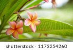 frangipani flowers close up... | Shutterstock . vector #1173254260