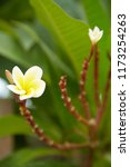 frangipani flowers close up... | Shutterstock . vector #1173254263