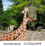 close up of head and neck of... | Shutterstock . vector #1173261499