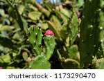 A Close Up Of Prickly Pear's Bud