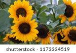 yellow sunflowers  helianthus... | Shutterstock . vector #1173334519