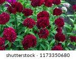 turkish carnation maroon on a... | Shutterstock . vector #1173350680