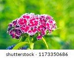 turkish carnation maroon on a... | Shutterstock . vector #1173350686