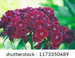 turkish carnation maroon on a... | Shutterstock . vector #1173350689