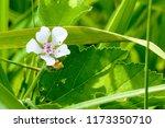 white wild flower of forest... | Shutterstock . vector #1173350710
