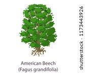 american beech icon. flat... | Shutterstock . vector #1173443926