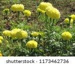 yellow marigold flower garden.... | Shutterstock . vector #1173462736