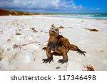 Marine Iguana  Galapagos...