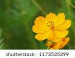 yellow cosmos or cosmos... | Shutterstock . vector #1173535399