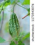 momordica charantia called... | Shutterstock . vector #1173543076
