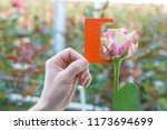measurement with a ruler of a... | Shutterstock . vector #1173694699