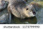 close up nutria rodent in... | Shutterstock . vector #1173799990