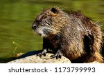close up nutria rodent in... | Shutterstock . vector #1173799993