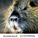 close up nutria rodent in... | Shutterstock . vector #1173799996