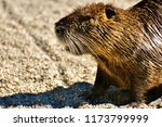 close up nutria rodent in... | Shutterstock . vector #1173799999