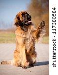 Huge Fluffy Leonberger Dog...