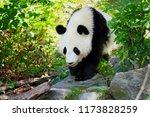 walking panda giant. it is in ... | Shutterstock . vector #1173828259
