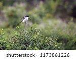 common fiscal shrike or jackie... | Shutterstock . vector #1173861226