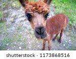 cut lama. lichtenstein | Shutterstock . vector #1173868516