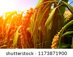 mature millet in the farmland | Shutterstock . vector #1173871900