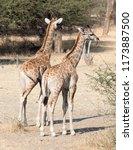 two young giraffes  giraffa... | Shutterstock . vector #1173887500