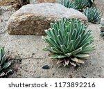 agave victoriae reginae  queen... | Shutterstock . vector #1173892216