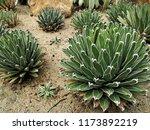 agave victoriae reginae  queen... | Shutterstock . vector #1173892219