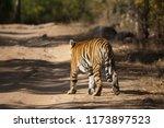 bengal tiger  panthera tigris... | Shutterstock . vector #1173897523