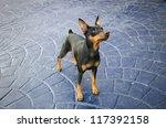 miniature pincher on a textured ...   Shutterstock . vector #117392158
