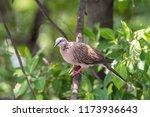 bird  dove  pigeon or... | Shutterstock . vector #1173936643