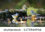 blue tits bathing | Shutterstock . vector #1173964936