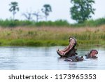 common hippopotamus or hippo ... | Shutterstock . vector #1173965353
