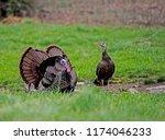 Two Male Turkeys Strut Their...