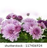Fall Mum Flowers On White Background - stock photo