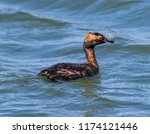 a horned grebe in breeding... | Shutterstock . vector #1174121446