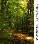 beech forest. beech is a... | Shutterstock . vector #1174162810